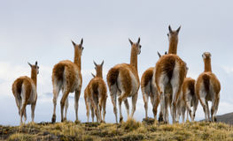 Guanaco ομάδας στο εθνικό πάρκο Torres del Paine Χιλή Στοκ φωτογραφία με δικαίωμα ελεύθερης χρήσης