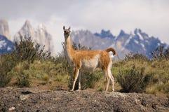 Guanaco. (Lama Guanicoe) in a mountain landscape Stock Image