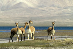 Guanaco Royalty Free Stock Photo