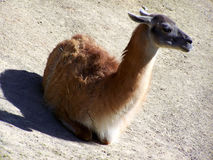 Guanaco Royalty Free Stock Image