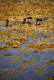 Guanaco Stock Photography