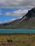 guanaco Arkivbilder
