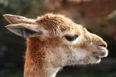 Guanaco Royalty Free Stock Images