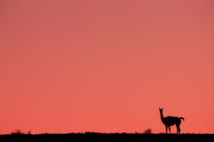 Guanaco Stock Photos