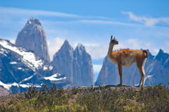 Guanaco. (Lama Guanicoe) admiring the Andes Stock Images