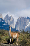 Guanaco. A Guanaco (Lama Guanicoe) in front of an Andean landscape Royalty Free Stock Photography