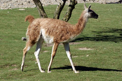 Guanaco Stockfotos