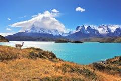 Guanaco agraciado de la silueta en el lago Pehoe Imágenes de archivo libres de regalías