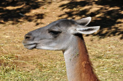 Guanaco animal Stock Photo