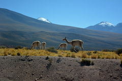Guanaco in Atacama desert Royalty Free Stock Photos