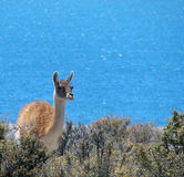 Guanaco in the beach Royalty Free Stock Image