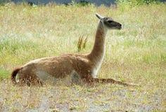 Guanaco che si trova sull'erba Fotografie Stock