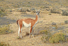 Guanaco, Chile Royalty Free Stock Images