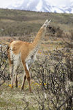 Guanaco - Chile - South America Stock Photos