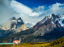 Guanaco at the cliffs of Los Cuernos. Guanaco at the foot of the cliffs of Los Cuernos. Mountains and rocks in Torres del Paine National Park, Chile. The concept royalty free stock images