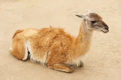 Guanaco Royalty Free Stock Photos