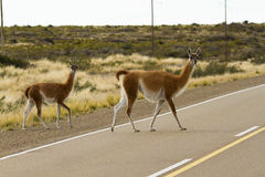 Guanaco crossing the route in Patagonia Stock Images