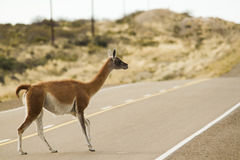 Guanaco crossing the route in peninsula valdes in patagonia stock photos