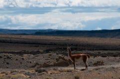 Guanaco da borda da estrada em Argentina imagens de stock royalty free