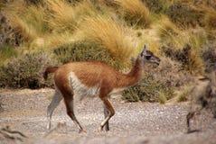 Guanaco dans le Patagonia Photographie stock libre de droits