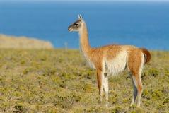 Guanaco dans le Patagonia Images libres de droits