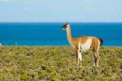 Guanaco dans le Patagonia. Image libre de droits