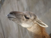 Guanaco de lama Photo stock