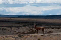 Guanaco del borde de la carretera en la Argentina imágenes de archivo libres de regalías