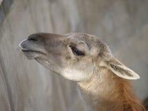 Guanaco della lama Fotografia Stock