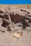 Guanaco, der an Atacama-Wüste steht Lizenzfreies Stockfoto