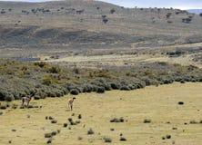 Guanaco dichtbij het dorp van Porvenir in Tierra del Fuego Royalty-vrije Stock Foto's