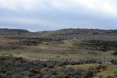 Guanaco dichtbij het dorp van Porvenir in Tierra del Fuego Stock Afbeelding