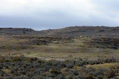 Guanaco dichtbij het dorp van Porvenir in Tierra del Fuego Stock Afbeeldingen
