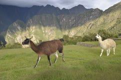 Guanaco e lama in Machu Picchu, Perù fotografia stock