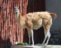 Guanaco eating green leaves. In the zoo Stock Photo