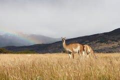 Guanaco en campo con el arco iris Fotos de archivo