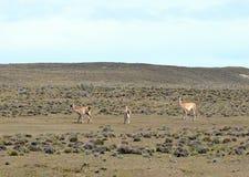 Guanaco en Tierra del Fuego Imagenes de archivo