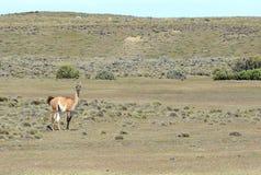 Guanaco en Tierra del Fuego Fotografía de archivo
