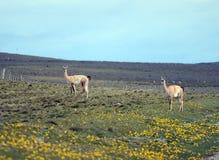 Guanaco en Tierra del Fuego Fotografía de archivo libre de regalías