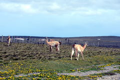 Guanaco en Tierra del Fuego Imagen de archivo