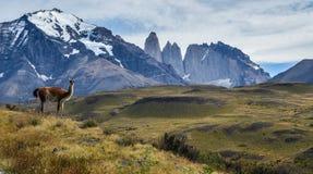 Guanaco en Torres del Paine royalty-vrije stock afbeelding