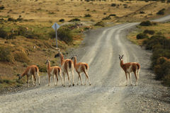 Guanaco en Torres Del Paine, Patagonia, Chile Imagen de archivo
