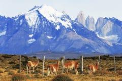 Guanaco en Torres Del Paine, Patagonia, Chile Foto de archivo