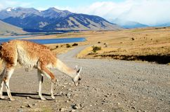 Guanaco at an Estancia Royalty Free Stock Images