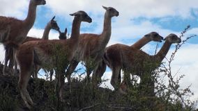 Guanaco exotic mammal wild animal in Andes mountains of Patagonia. stock video footage