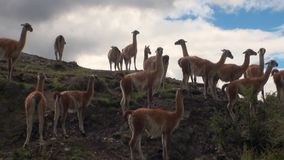 Guanaco exotic mammal wild animal in Andes mountains of Patagonia. stock video