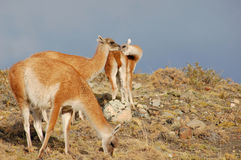 Guanaco family Royalty Free Stock Images