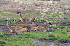 Guanaco family. Family of guanacos in Patagonia Stock Image