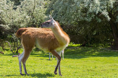 Guanaco full body Royalty Free Stock Photo