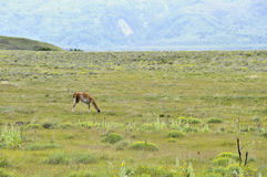 Guanaco Grazing Royalty Free Stock Images
